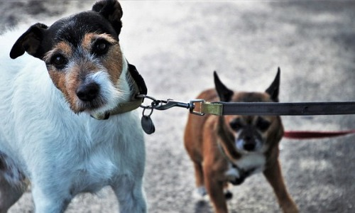 1954-1959: The Two-Headed Dog Experiment