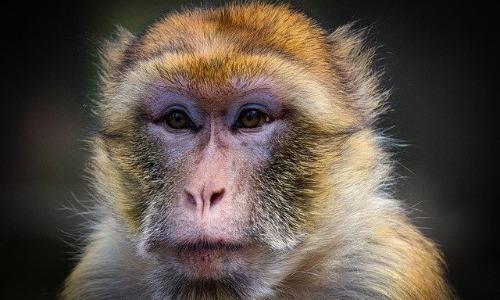 1970: The Barbaric Monkey Head Transplant